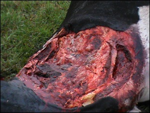 TSITSIKAMMA 4 cattle mutilations Bakkes farm April72012
